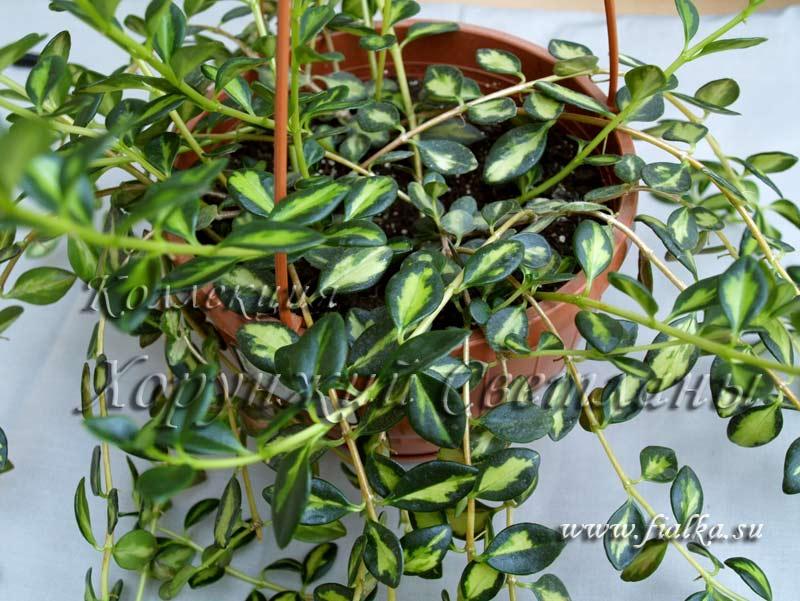 Види кімнатних квітів  Кімнатні рослини та квіти  Страница 4